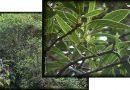 """El Peralillo""  (Coprosma pyrifolia) árbol endémico de Juan Fernández"